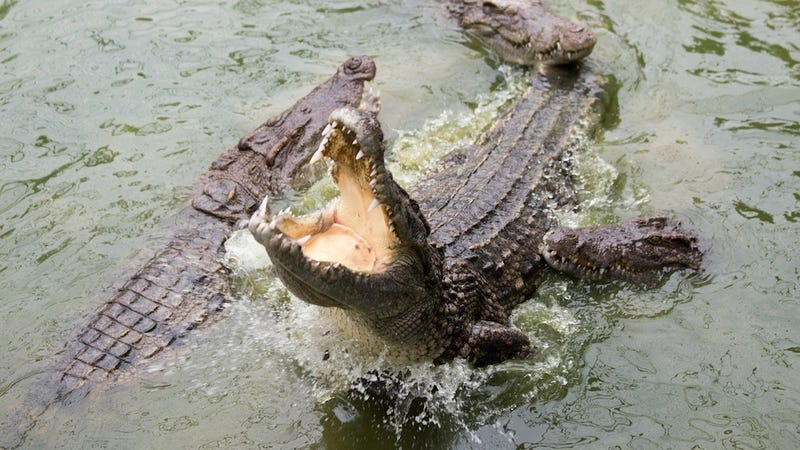 French Sailor Punches Crocodile Latched Onto His Head, Survives