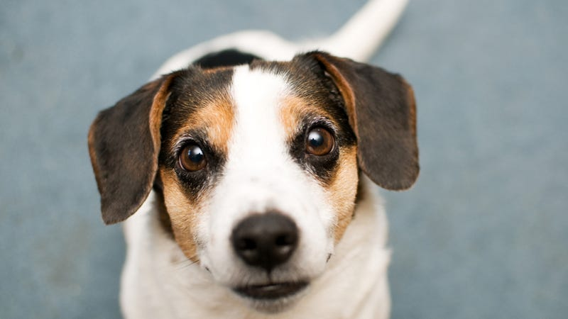 Left and Right Tail-Wags Trigger Different Emotional Responses In Dogs