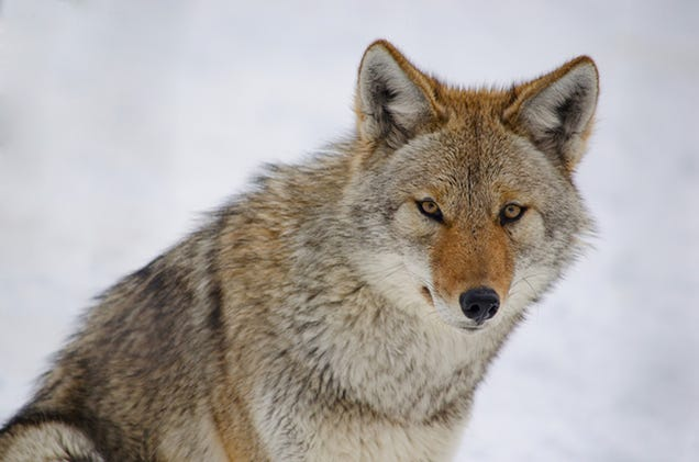 Coyotes Continue Their Infiltration of New York City