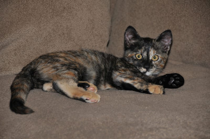 How Tortoiseshell Cats Show the Limits of Cloning