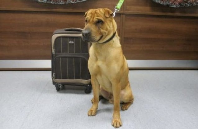 Sad dog abandoned at train station with suitcase full of for Shar pei puppies for sale craigslist