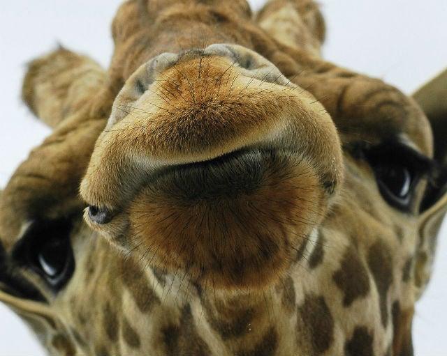 Your Giraffe Can Kiss My Ass