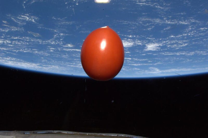 Yes, this is a fresh tomato orbiting in space at 4.8 miles per second