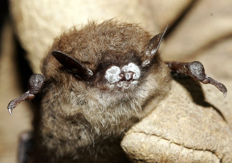 'White-Nose Syndrome' Is Spreading Across Michigan's Bat Population