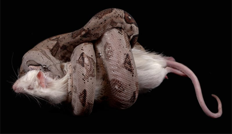 Boa constrictors only stop squeezing when your heart stops beating