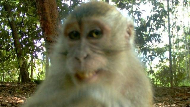 Monkey Discovers Game Reserve's 'Hidden' Spy Cam, Takes Smug Self-Shot