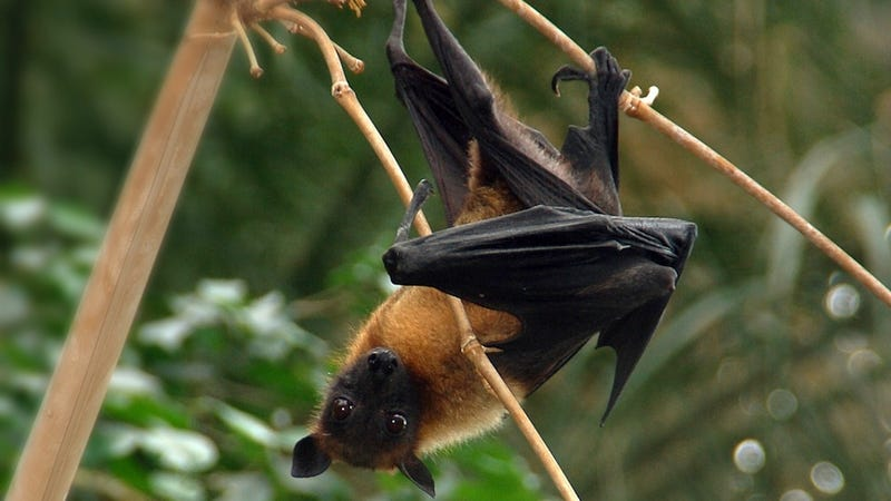 Fruit bats enjoy cunnilingus, too
