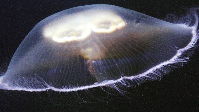 Jellyfish Shut Down a Nuclear Power Plant