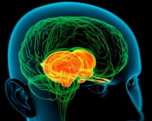 Scientists discover stem cells responsible for big brains and higher functions