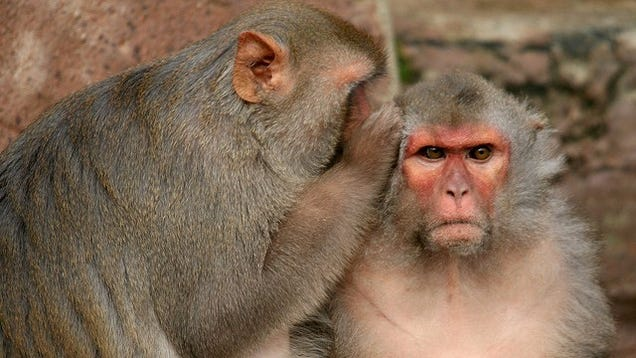 "Spraying monkeys with ""love hormone"" makes them act nicer to each other"