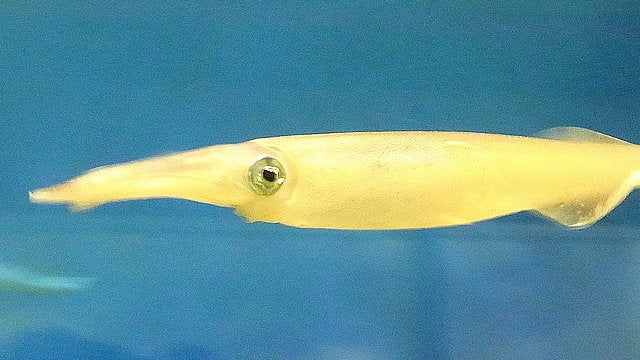 Itty Bitty Squid Shoot Giant Sperm on She-Squid's Mouth for Reproductive Glory