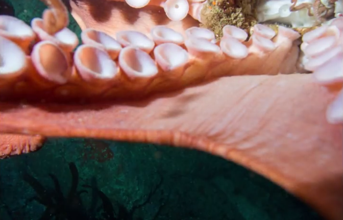 Video of a massive octopus wrestling with a diver underwater