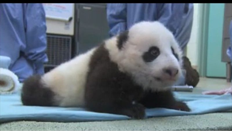 Baby Panda Xiau Liwu, Setting Records and Breaking Hearts