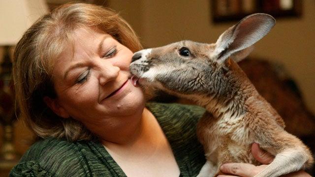 Woman Fights To Keep Injured Therapy Kangaroo