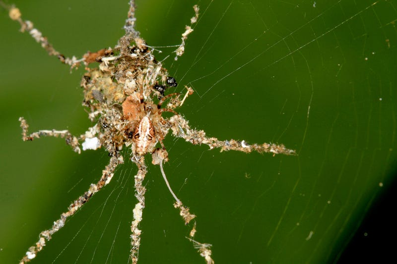 Badass spider uses insect corpses to make a giant spider design decoy