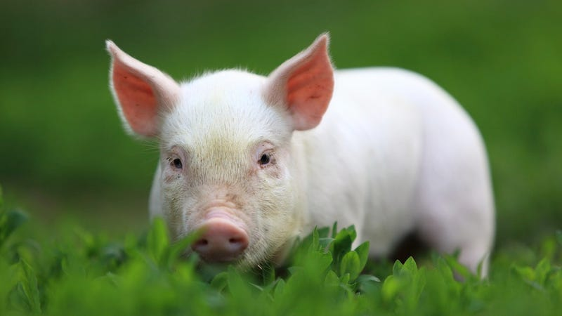 The British Are Invading China With Pig Semen