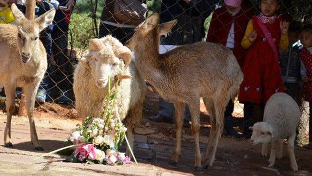 Unholy Matrimony: A Sheep Has Married a Deer in China