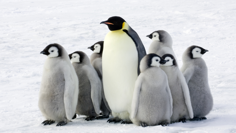 The Future of Emperor Penguins Is in Doubt