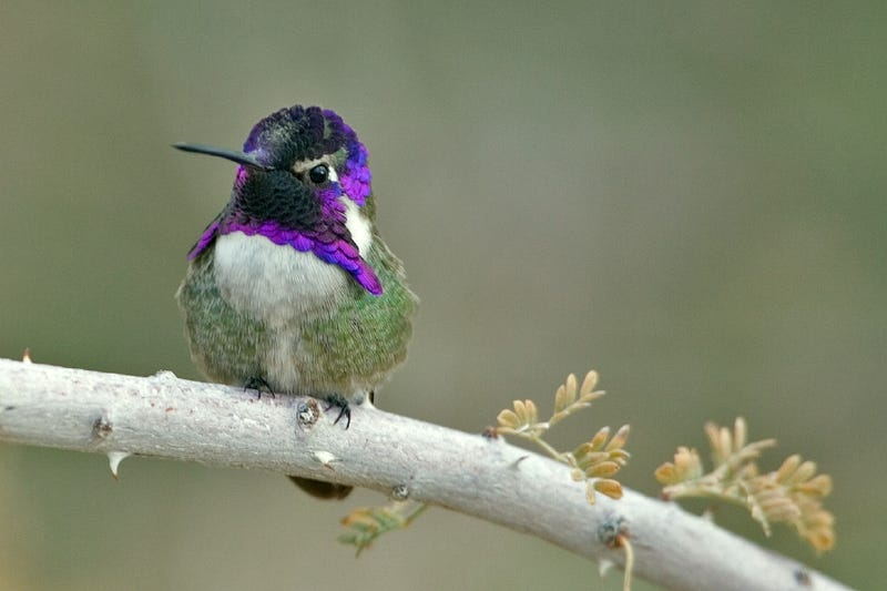 Why the Heck Does This Hummingbird's Face Look Like a Shiny Purple Octopus?