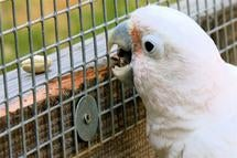 Watch this cockatoo make its own tools