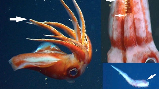 Deep-sea squid can break off all its arms to fight enemies