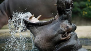 Who Would Win If A Hippo Fought A Rhino? A Question For The Ages.
