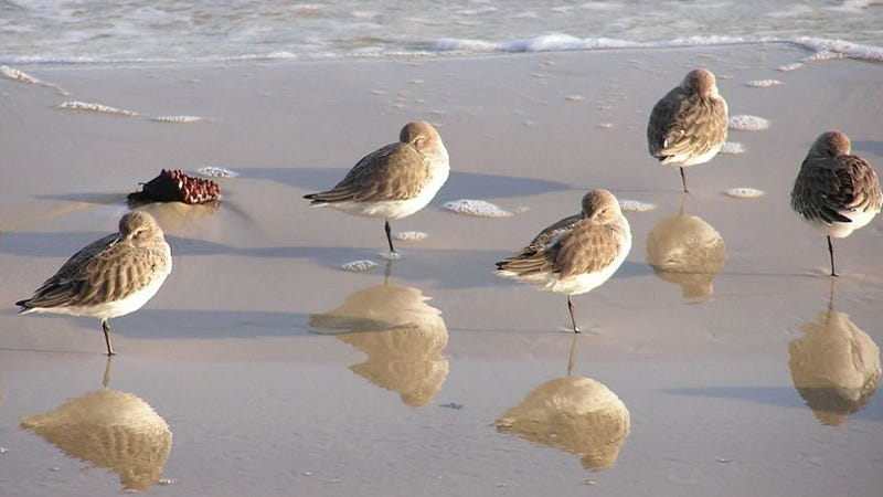 What do sandpipers and chorus lines have in common?