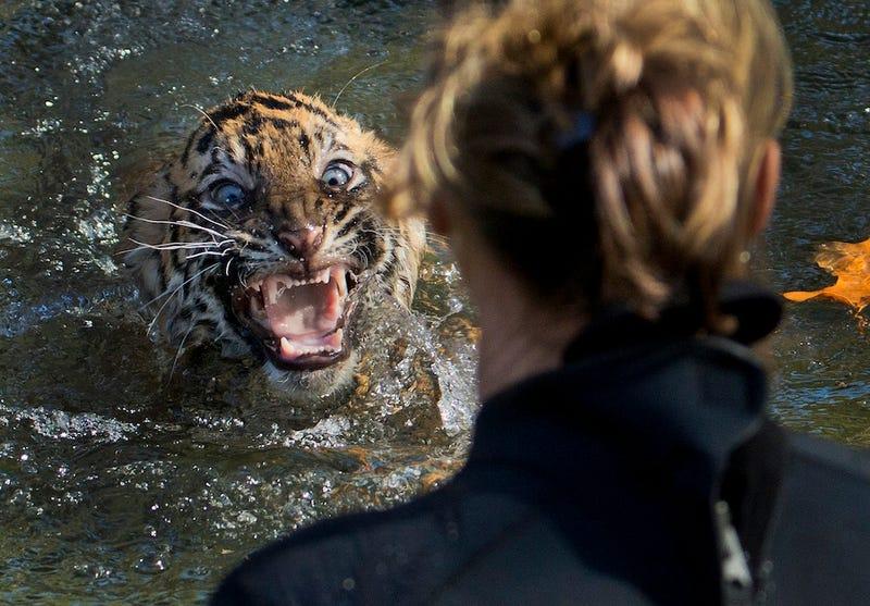 Don't Make Tigers Go Swimming