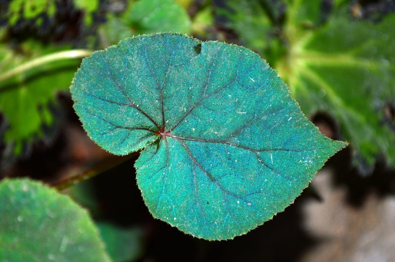 Freaky Blue Leaves Allow Plants to Thrive in Shade