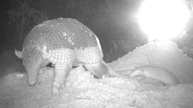 Our first glimpse ever of a baby giant armadillo