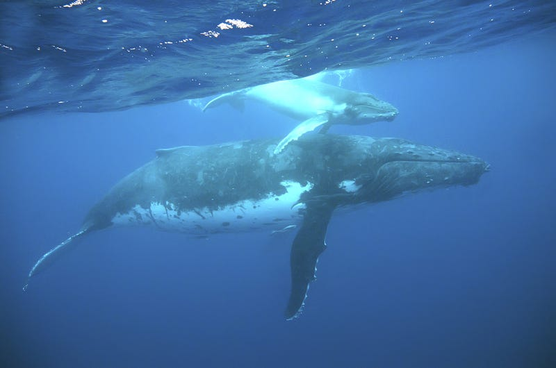 Helicopters Are About to Get Faster Thanks to Humpback Whale Fins