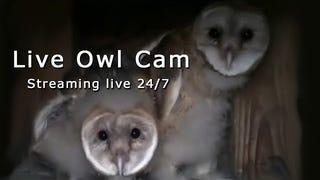 Owl hatchling cam live!