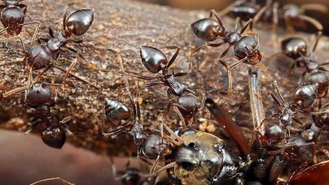 Ant species uses chemical warfare to kill termites from afar