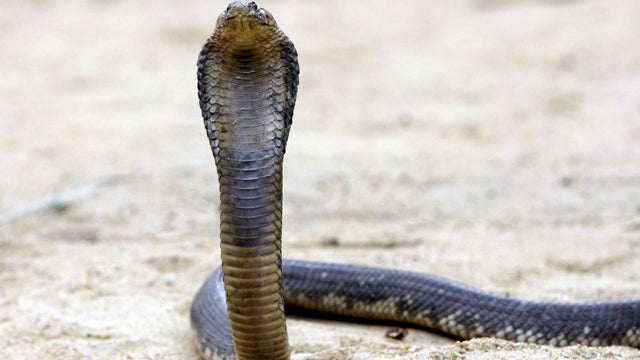 Deadly Cobra Missing From New York Zoo