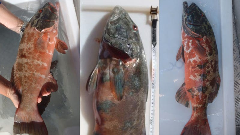 These fish could be harbingers of a major human health crisis