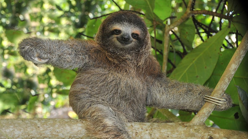 Lessons in World Domination: The Sloth's Sleepy Rise to Internet Fame