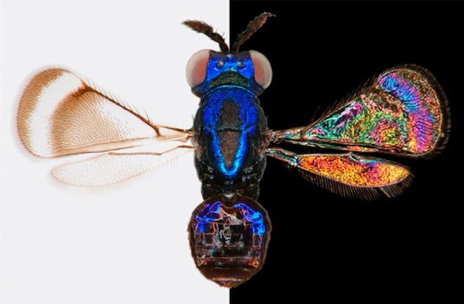 Amazing World of Insect-Wing Color Discovered