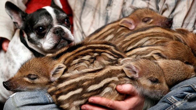 Oh God This Bulldog Adopted Piglets