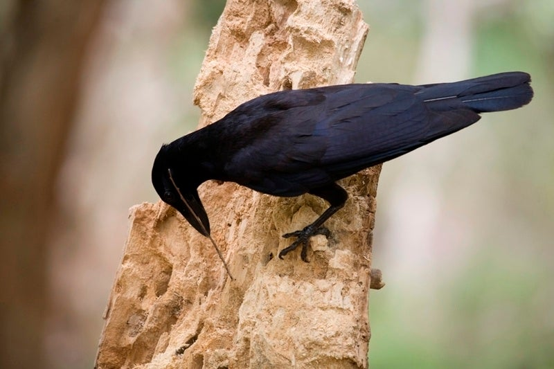 The Mysterious Tool-Making Culture Shared by Crows and Humans