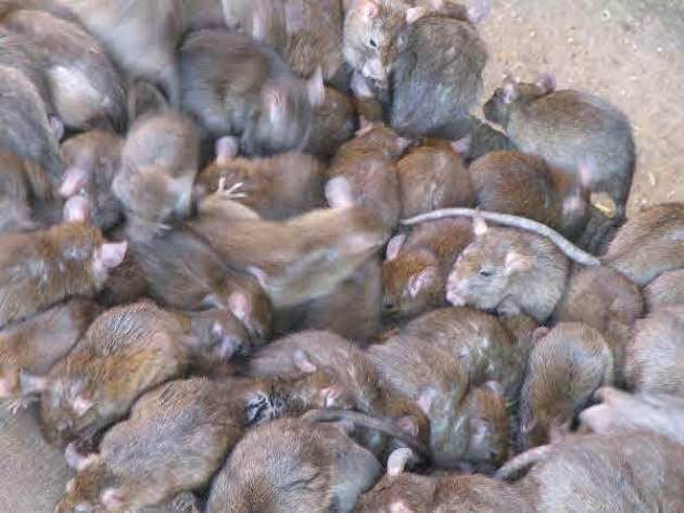 Massive plagues of rats swarm across India every fifty years