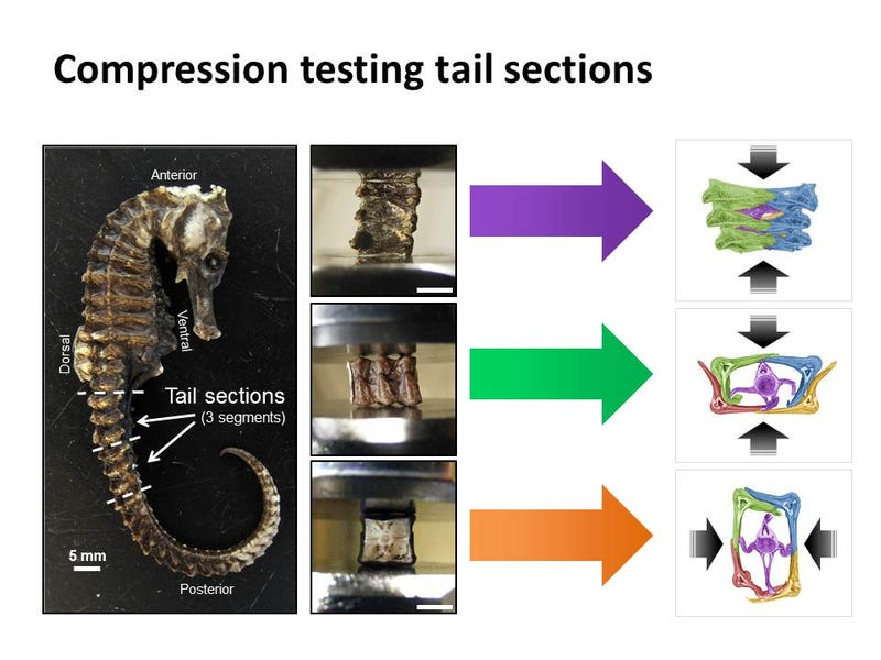 The Tiny Seahorse's Tail Could Help Create A New Type of Armor