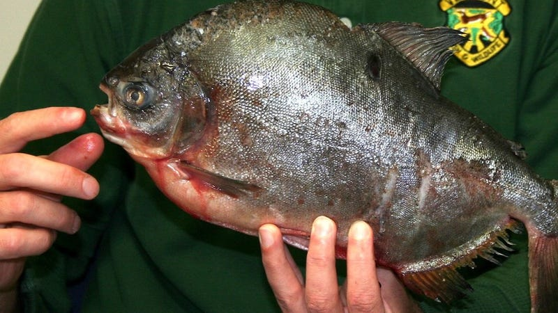 Scandinavian Swimmers Warned About Testicle-Attacking Monster Fish