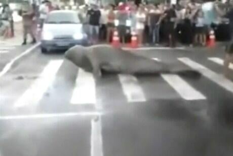 A 10-foot elephant seal stopped traffic as it crossed a road in Brazil