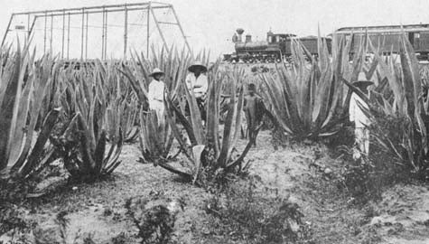 Mexican Farmers Grow Corn For Ethanol Instead Of Agave For Tequila!