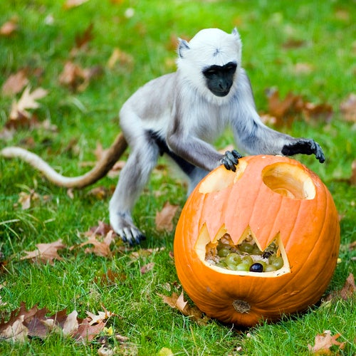 Because a Monkey Playing With a Pumpkin Is Funny, That's Why
