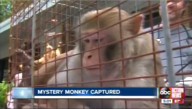 Tampa Bay's 'Mystery Monkey' Apprehended After Three-Year Monkeyhunt