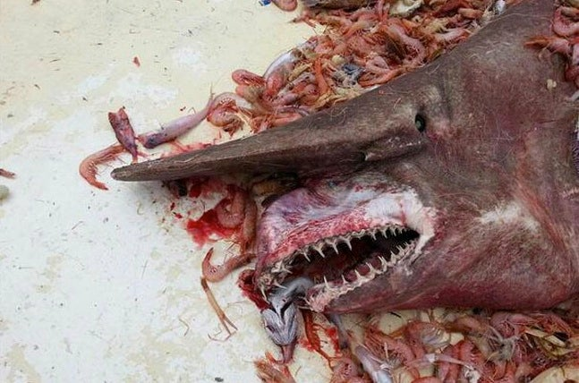 "Horrifying and Rare ""Goblin Shark"" Found off the Coast of Key West"
