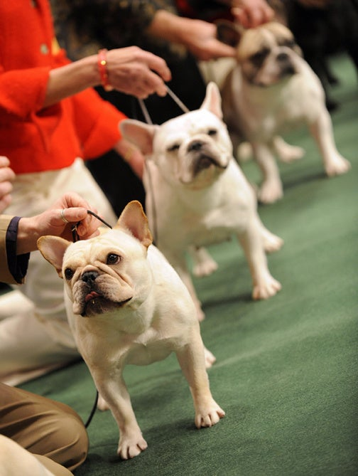 Day 1 Of The Westminster Dog Show
