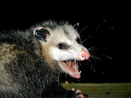 Brooklyn Has a Self-Inflicted Possum Problem
