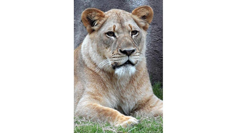 Lady Lion Killed by Her Brother at Dallas Zoo :(
